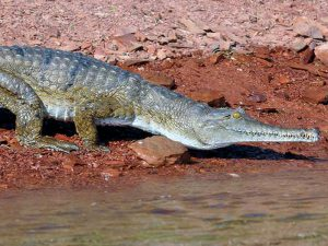 Johnstoni crocodylus