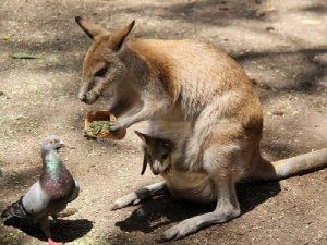 Кенгуру и голубь
