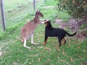 Кенгуру и собака