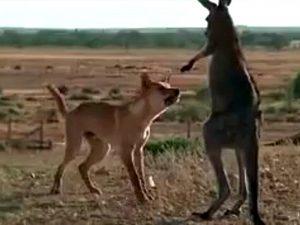 Кенгуру и собака динго