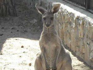 Кенгуру в зоопарке