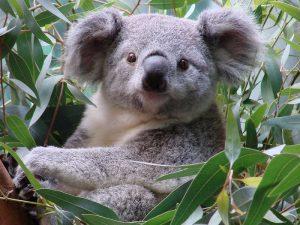 Австралийский мишка
