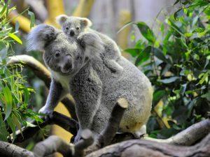 Мама-коала с детенышем