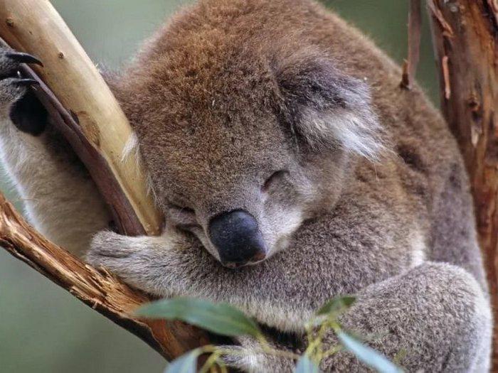 Неподвижный коала