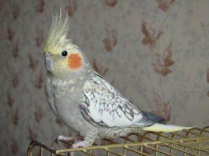 Корелла — самка перловая
