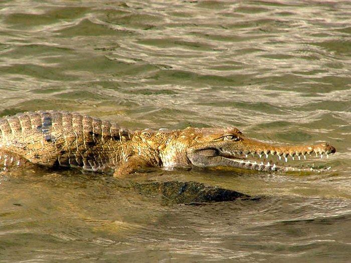 Крокодил Джонстона
