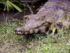Крокодилий камуфляж