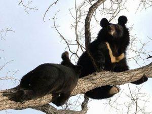 Медведь верхолаз