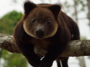 Медвежий кенгуру