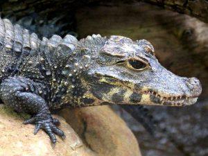 Мини-крокодил