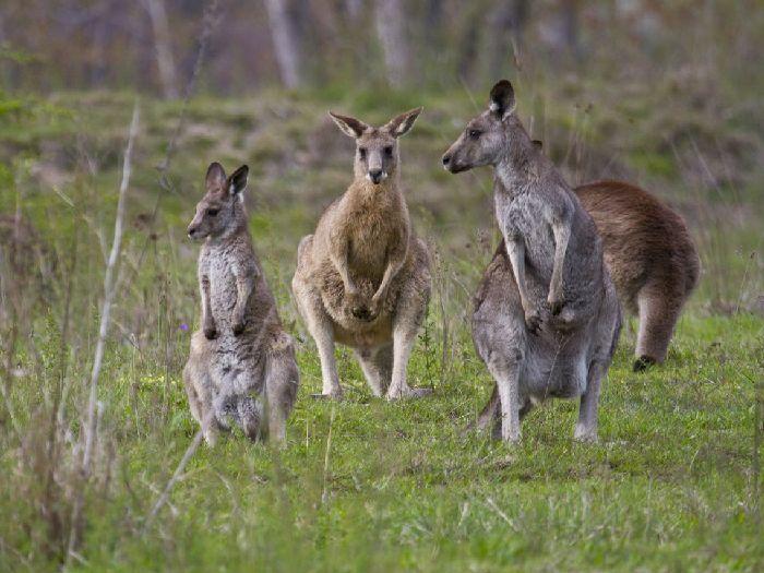 Моб серых кенгуру