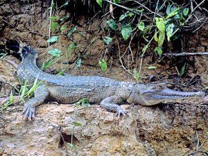Крокодил на берегу