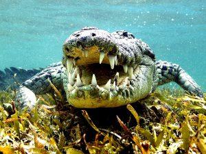 Крокодил на дне