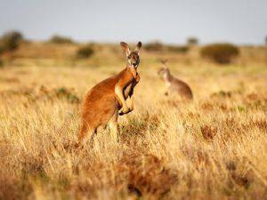 На острове кенгуру