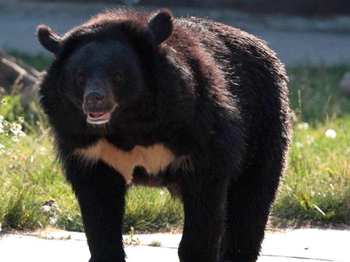 Медвежья походка