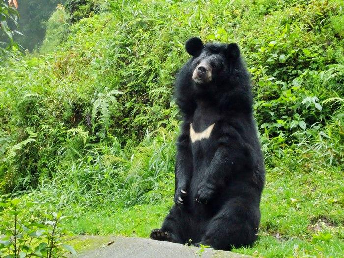 Стойка гималайского медведя