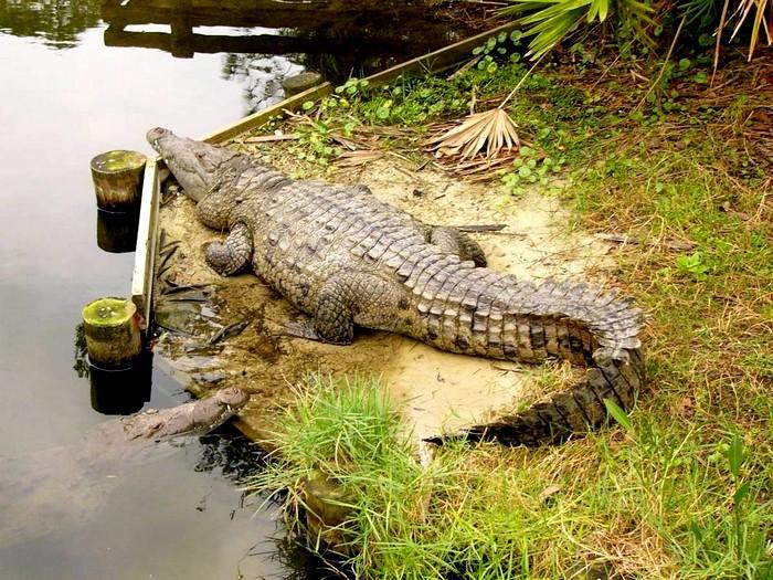 Настоящий американский крокодил