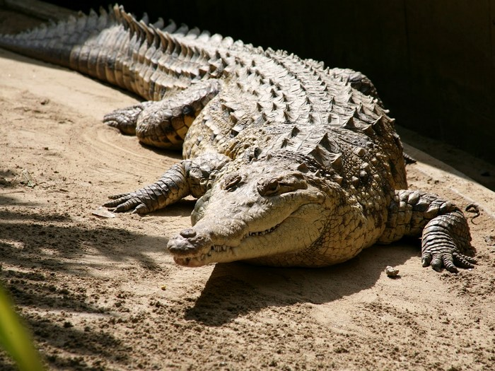 Крокодил - ночное животное
