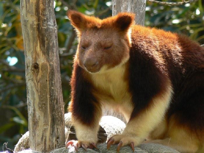 Древесный-кенгуру-Описание-и-образ-жизни-древестного-кенгуру-12