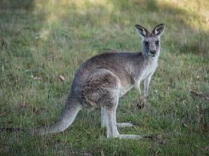 Обычный серый кенгуру