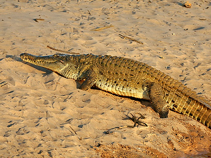 Orinoco crocodle