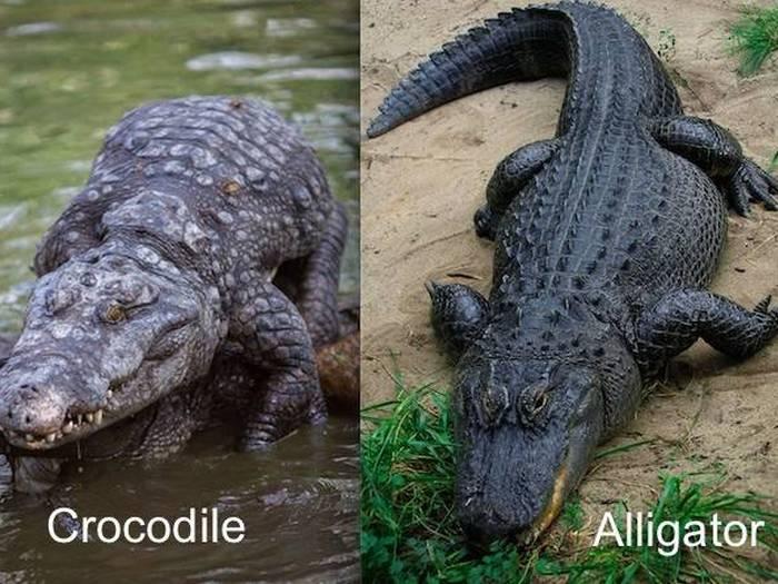 разница между крокодилом и аллигатором