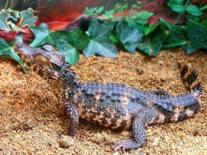 Paleosuchus trigonatus
