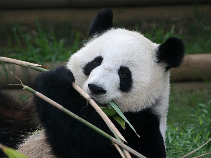 Бамбуковая диета