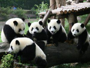 Семейка панды