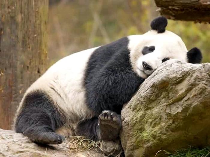 Сиеста панды