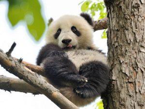 Бамбуковый медвежонок