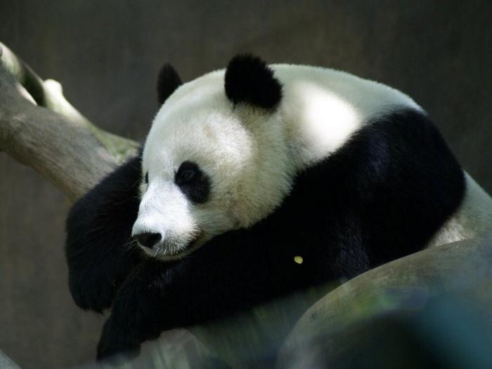 Панда в наши дни