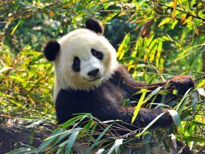 Специалист по поеданию бамбука