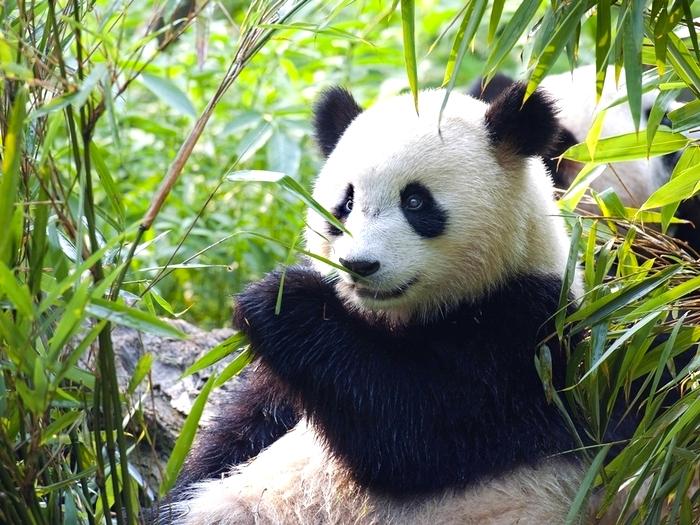 Салат для панды