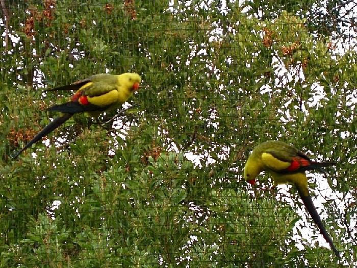 Пара горных попугаев