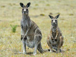 Пара серых кенгуру