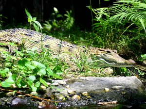 Philippine crocodiles