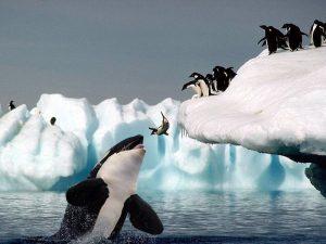Пингвины и косатка