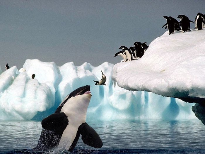 пингвины и транзитная косатка