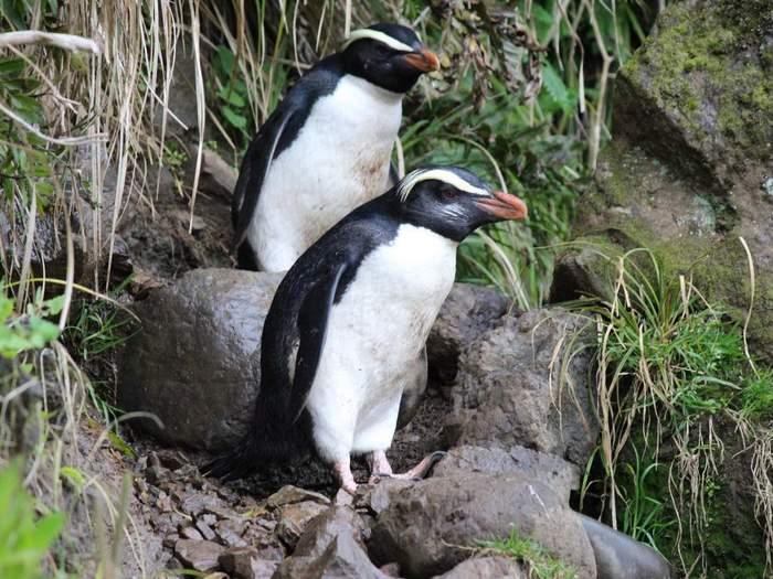 где живут и размножаются толстоклювые пингвины Виктории