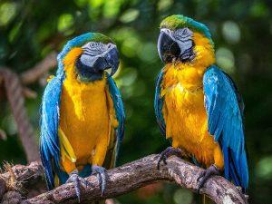 Попугаи вдвоем