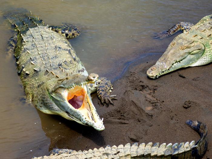 Пасть крокодила