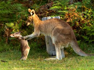 Непослушный кенгуренок