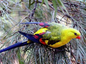 Самец горного попугая