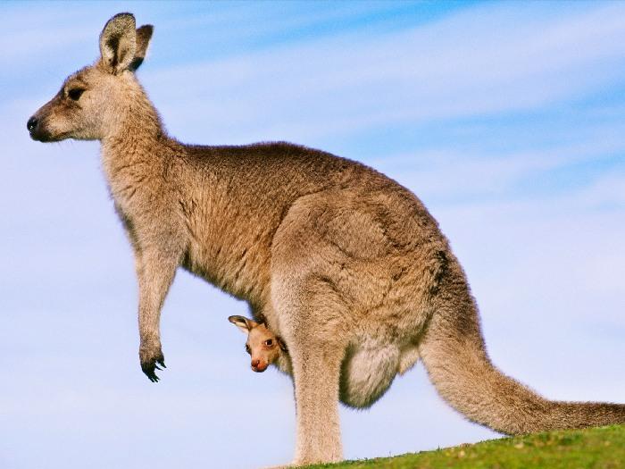 Самка с кенгуренком