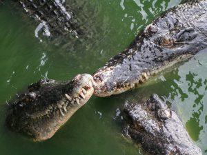 Крокодилы красавцы