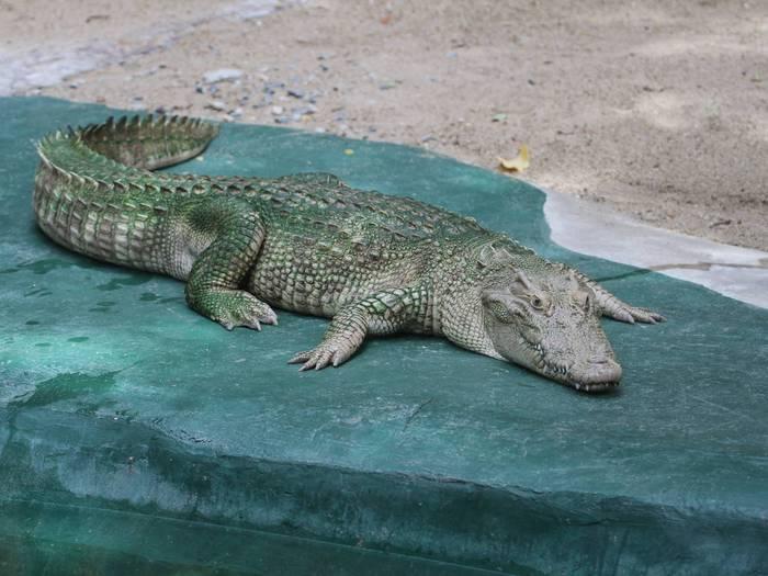 Сиамский крокодил в зоопарке