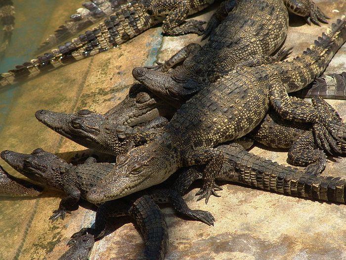 Крокодилы подростки