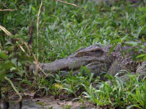 Крокодил в кустах