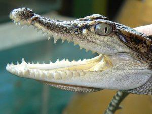 Сиамский крокодильчик